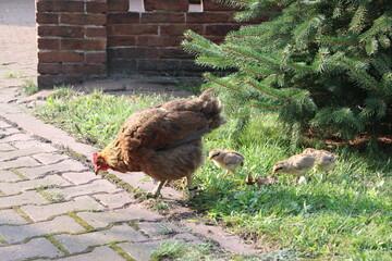 Matka kura spaceruje z kurczaczkami - kury z wolnego wybiegu