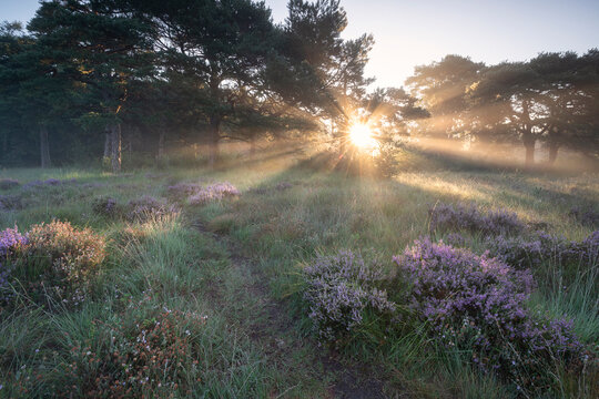 dramatic sun rays over meadow with blooming heather