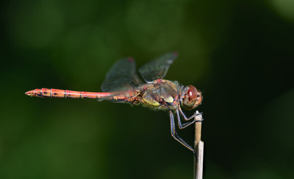Close-up of a blood-red darter (Sympetrum sanguineum) sitting on a branch in front of a green background