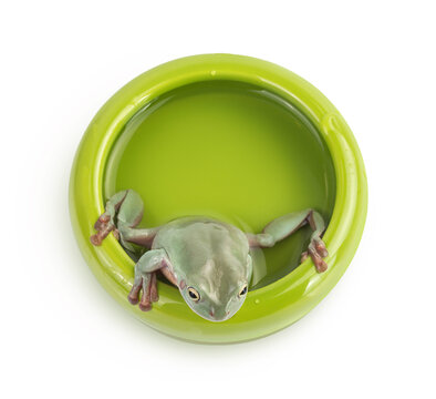 The Australian green tree frog in bowl with water isolated on white background with clipping path and full depth of field. Top view. Flat lay