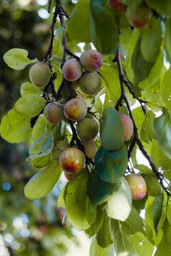 owoce śliwy rosnące na drzewie, śliwki na drzewie