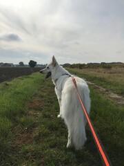 Pies biały owczarek na spacerze