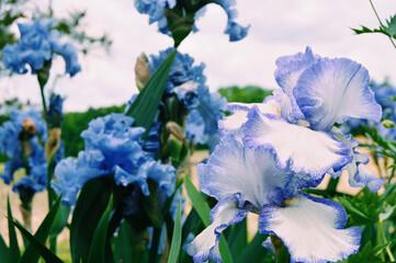 Closeup shot of blooming blue iris flowers