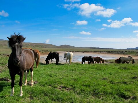 Iceland Horses In A Field