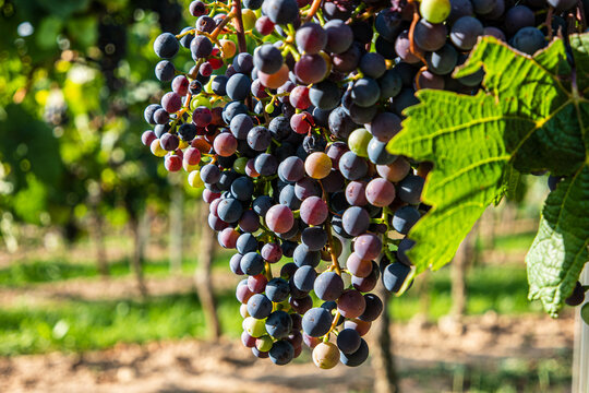 Red Blue And Purple Grapes
