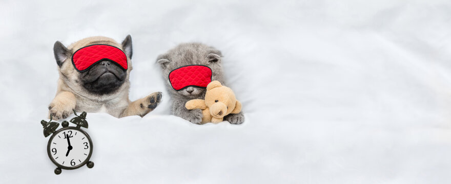 Funny Pug puppy and tiny kitten sleep in sleeping masks under white blanket at home. Pug puppy holds alarm clock. Top down view. Empty space for text