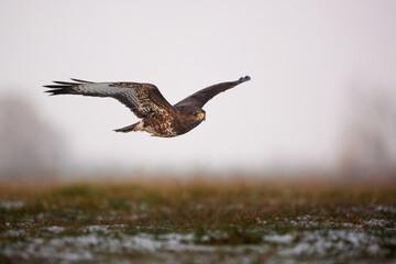 Fototapeta Flying Common buzzard - Buteo buteo obraz
