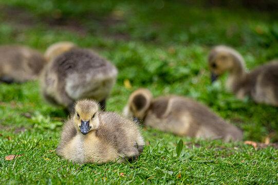 Canada goose, branta canadensis, gosling
