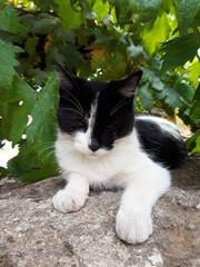 Fototapeta Biało czarny kot w cieniu drzewa, Italia. obraz