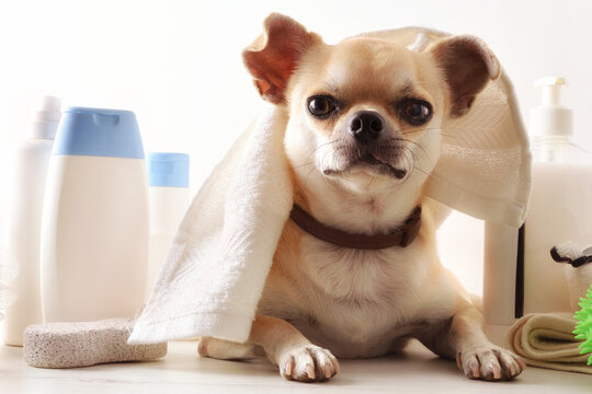 Dog grooming with chihuahua with towel on head detail