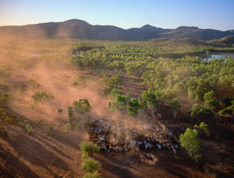 Mustering beef cattle in the far north of Queensland, Australia.