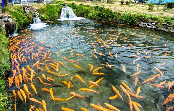 Trout fish farm at Ingenio in Junin, Peru