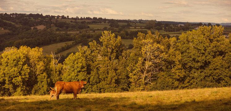 Aubrac cattle France