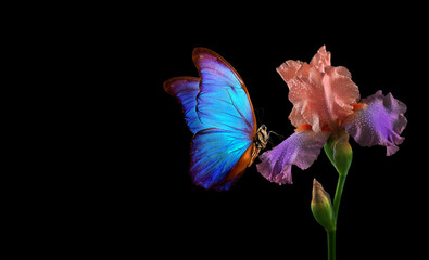 beautiful blue morpho butterfly on iris flower in water drops isolated on black. copy spaces