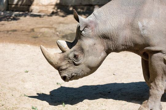 rhinoceros in Berlin zoo at sunny day