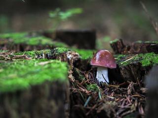 Fototapeta brązowy grzyb w lesie  obraz