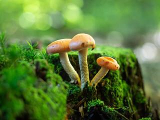 Fototapeta trzy grzyby na mchu  obraz