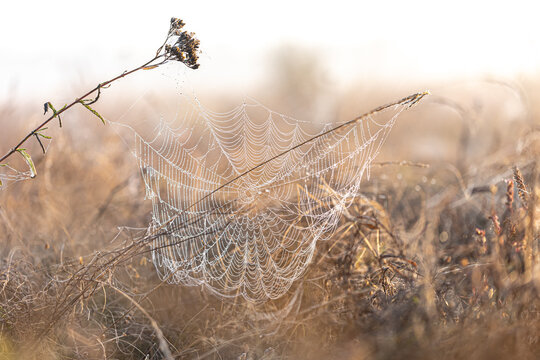Big beautiful spider web in dew drops at dawn in the field.