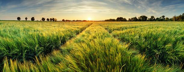 Fototapeta Rural landscape with wheat field on sunset obraz