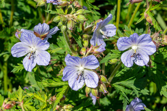Geranium Pratense 'Mrs Kendall Clark' a summer flowering plant with a light purple summertime flower commonly known as meadow cranesbill, stock photo image