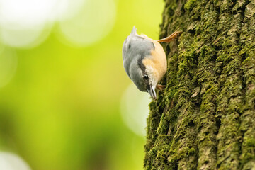 Fototapeta Ptak Kowalik na drzewie z nasionem w dziobie obraz