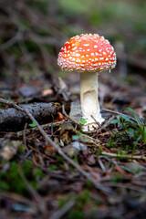 Fototapeta Muchomor czerwony obraz