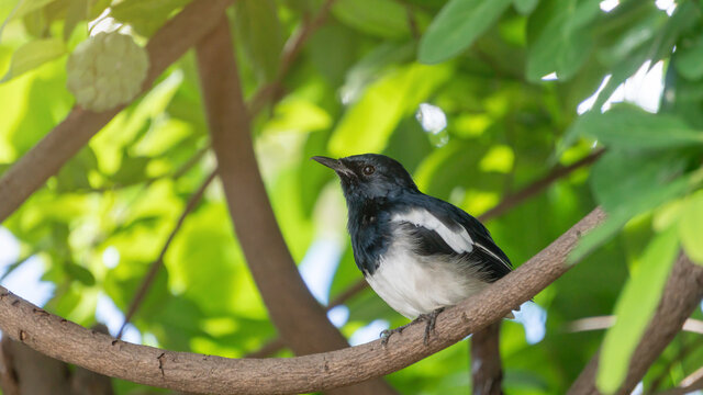 Oriental magpie robin bird hanging in a tree.