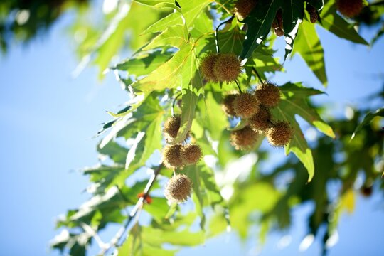 Plane Tree Fruit