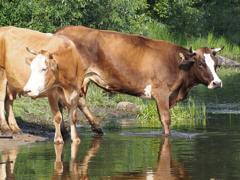 Dairy cows drink water during the pasture season
