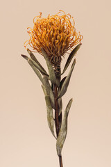 Fototapeta Dried orange pincushion protea flower on a brown background obraz