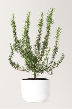 Rosemary in a ceramic pot