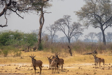 Herd of roan antelope in the yellow grasslands of the Khaudum National Park, Namibia