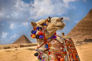 Camel in front of the pyramids, Egypt Cairo.