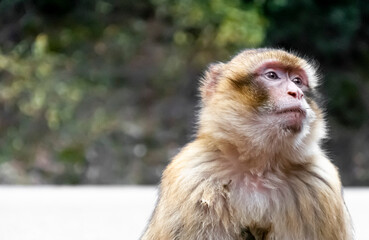 Medium shot of macaque monkey in the wild with blank stare and soft blur background