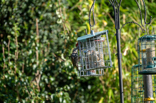 Young starling on a bird feeder in a garden