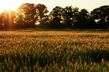 Pole pszenicy o zachodzie słońca