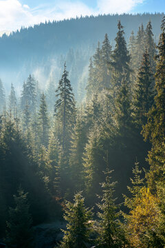 coniferous forest at foggy sunrise. trees at the foot of a hill in morning light. blue sky with fluffy clouds. idyllic countryside scenery