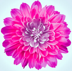 flower purple chrysanthemum . Flower isolated on a white background. No shadows with clipping path. Close-up. Nature.