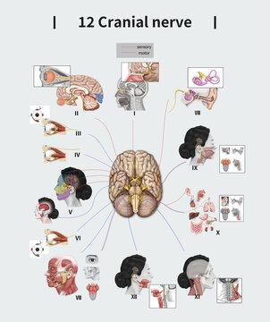 12 뇌신경 해부학 그림
