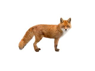 Fototapeta premium beautiful fox of orange color isolated on white background