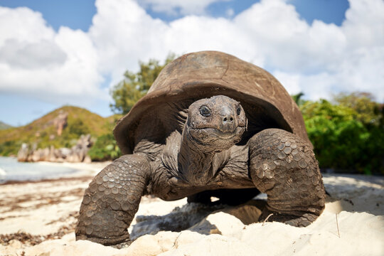 Aldabra giant tortoise on sand beach. Close-up view of turtle in Seychelles..