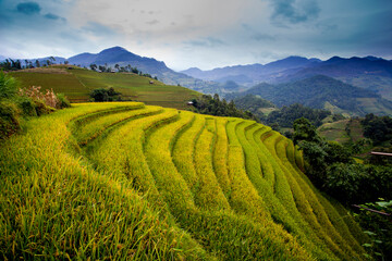 Yellow season in Northwest Vietnam. In autumn the golden rice fields covering the mountains and attracts a lot of tourists. Terraced fields are unique cultural features of ethnic minorities in