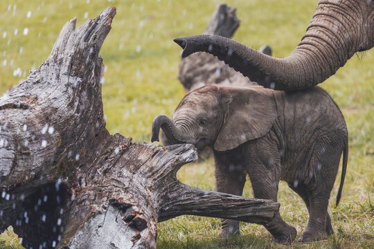 Cute baby elephant walking in the rain with mother. Calf, female elephant takes care of baby