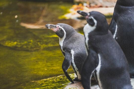 Humboldt penguin bird, wildlife animal