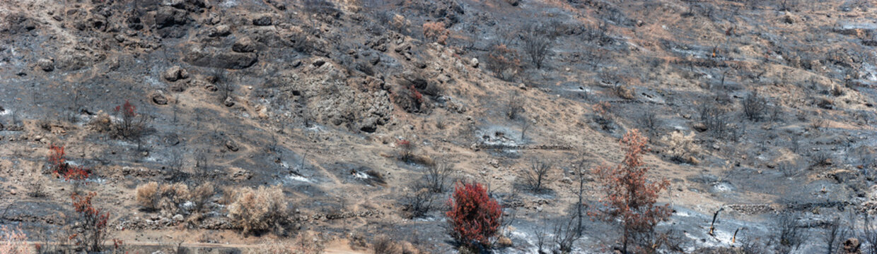 Scorched trees over land covered by ashes. Burned forest landscape panorama after wildfire in rural area in Cyprus