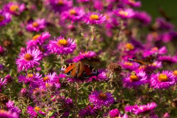 Obraz Motyl Rusałka Pawik na tle fioletowych kwiatów  - fototapety do salonu