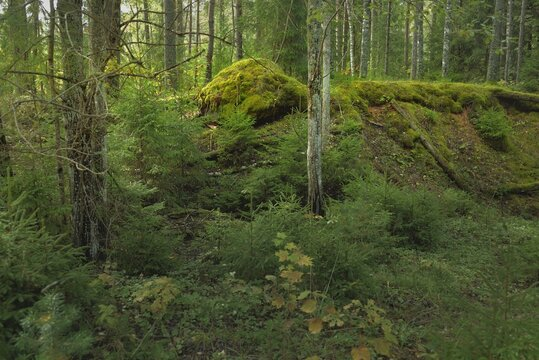 Overgrown hills of a mysterious northern evergreen forest. Mighty trees, plants, moss, fern. Early autumn, Scandinavia. Nature, ecology, environmental conservation, ecotourism, hiking concepts