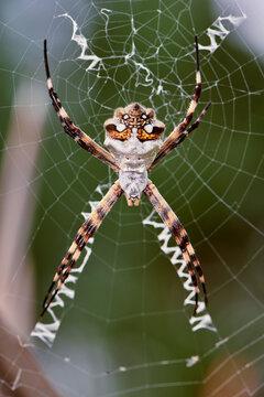 argiope garden weaver spider