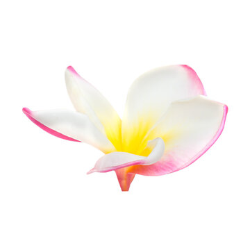 Pink and yellow frangipani plumeria flower with isolated petals on white background