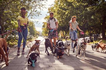 Obraz Dog walking on leash with three professional dog walker - fototapety do salonu